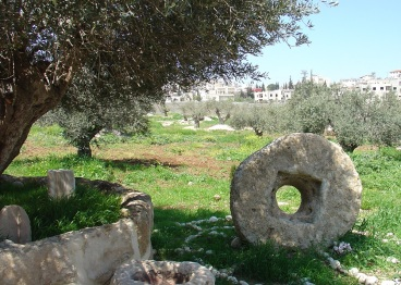 Olive Trees in Jacob's Field in Palestine